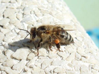 The Bee, on Flickr