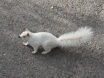 Frosti The Terrorist Albino Squirrel by Mandy J Watson, on Flickr